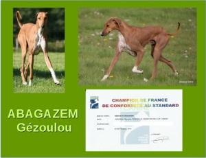 azawakh gezoulou